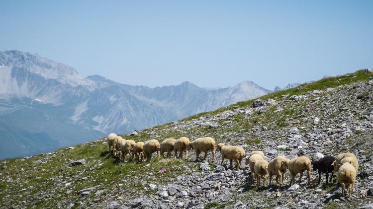 Schafherde Arosa Schafe