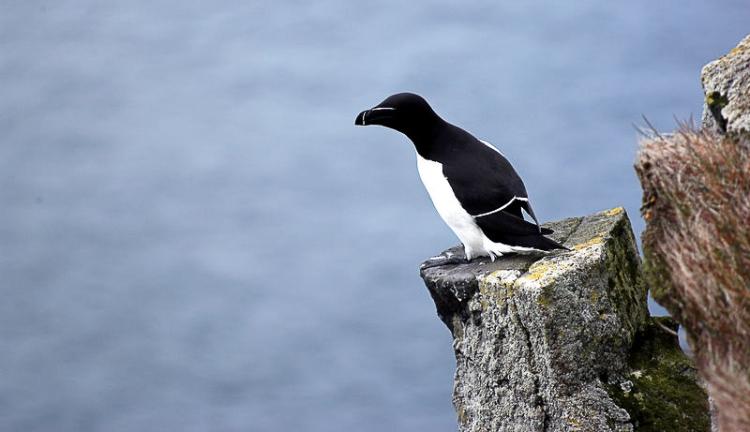 Tordalk Alkenvogel Island Iceland Latrabjarg