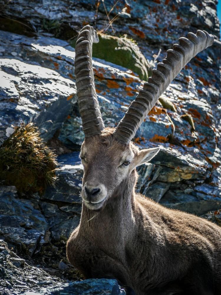 Steinbock Matterhorn Zermatt Capricorn (2)