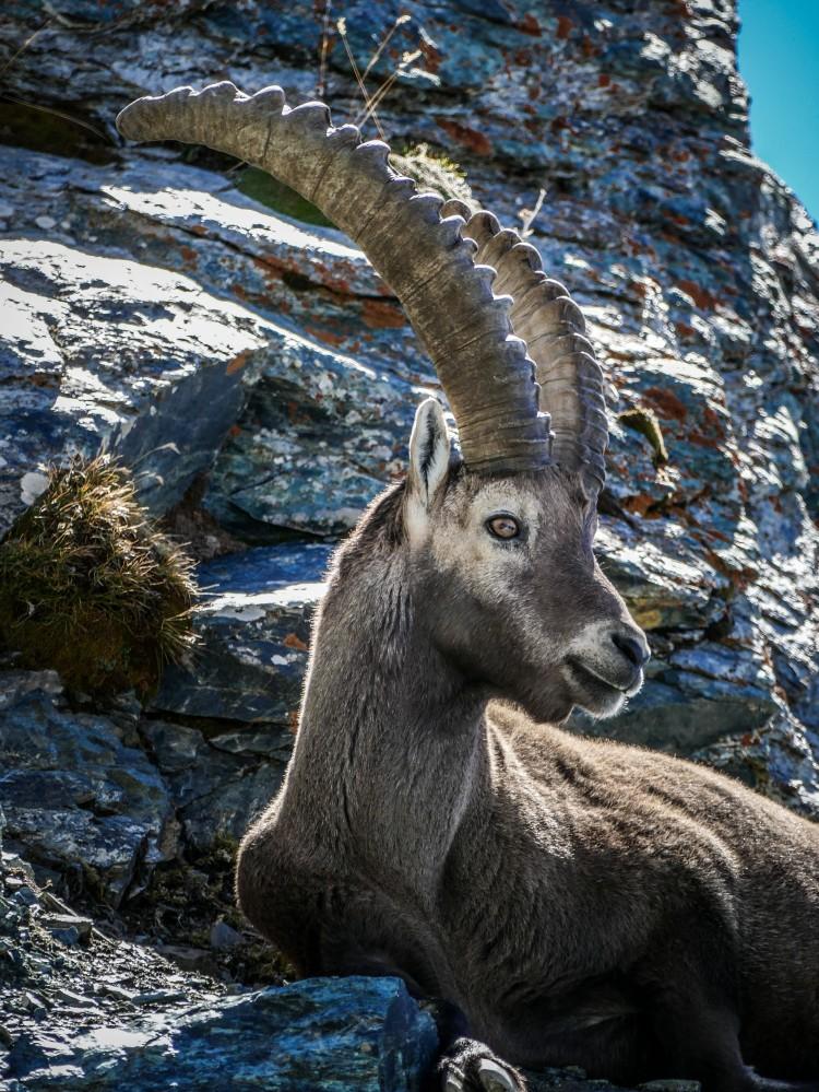 Steinbock Matterhorn Zermatt Capricorn (3)