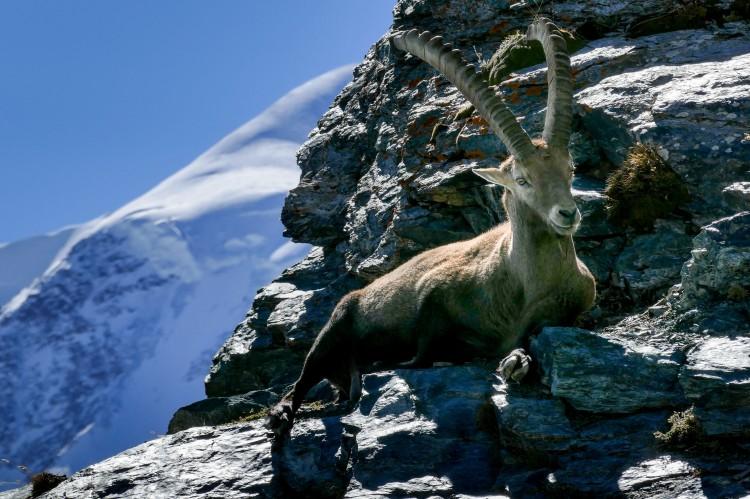 Steinbock Matterhorn Zermatt Capricorn (4)