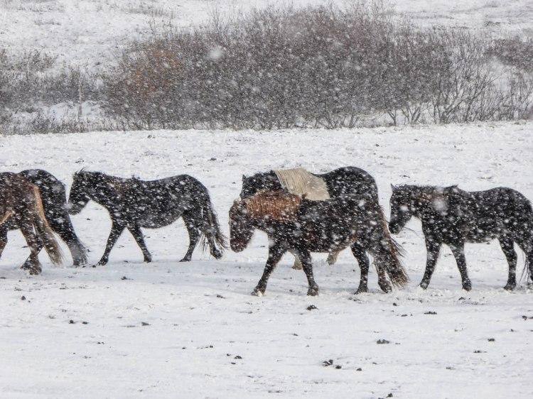 Eyjafjörður, Iceland Horses