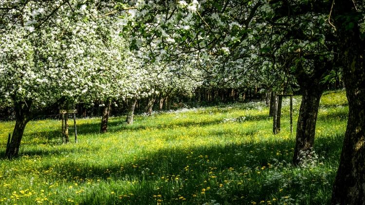 blühenden Obstbäume