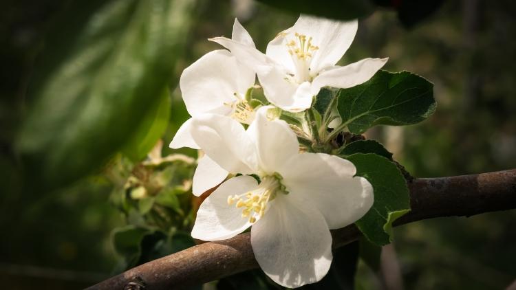 blühenden Obstbäume in der Bodenseeregion 3