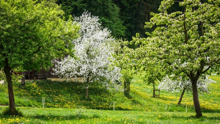 blühenden Obstbäume in der Bodenseeregion 2
