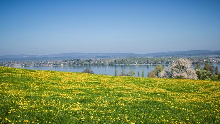 blühenden Obstbäume am Untersee Thurgau