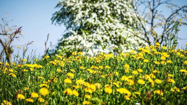 blühenden Obstbäume in der Bodenseeregion Thurgau Untersee